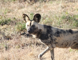Farewells to the final wild dogs at UmPhafa Reserve!
