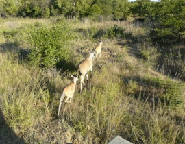 UmPhafa welcomes the world's largest antelope to its land!