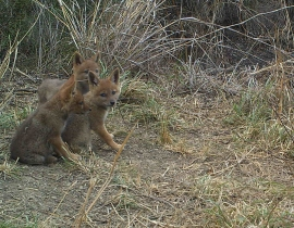 Jackal pups reported by ranger at UmPhafa!