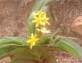 Threatened flora species at UmPhafa Reserve – The Star Flower