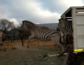 First Zebra Released onto the Second Portion of UmPhafa