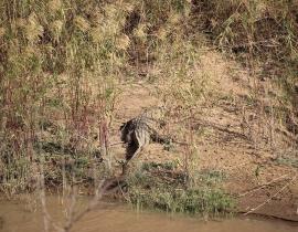 Crocodile spotted near UmPhafa Reserve!