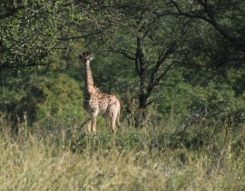 New Calf Born to Second Giraffe Population