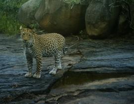 Ranger at UmPhafa tells the story of leopard cub sightings!