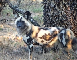 UmPhafa success for the African Wild Dog Project
