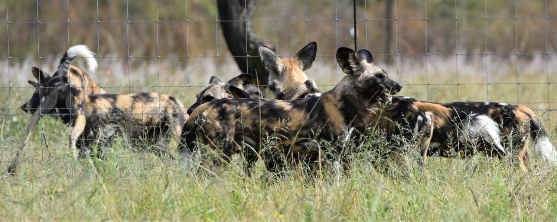 Wild dogs arrive at UmPhafa