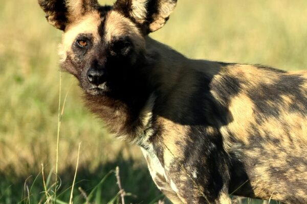 Endangered Wild Dogs move to Malawi
